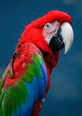 Green Wing Macaw photo