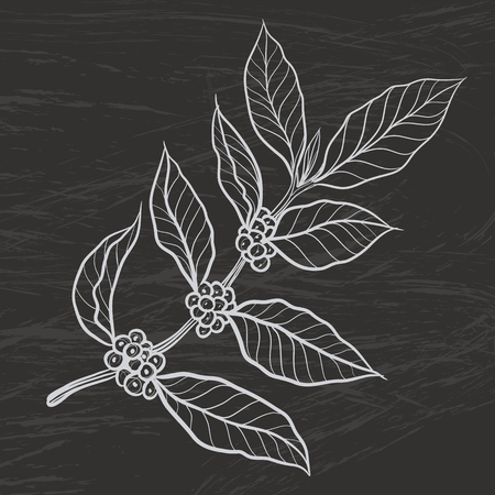 Coffee plant with coffee leaf