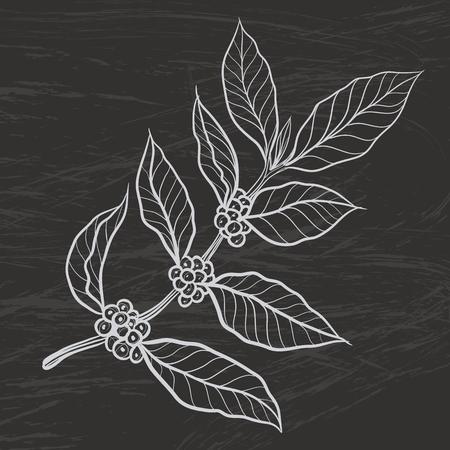planta de cafe: planta de café con la hoja del café
