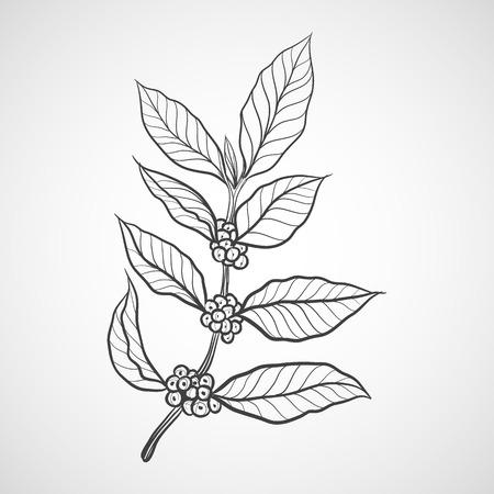 planta de cafe: planta de caf� con la hoja del caf�