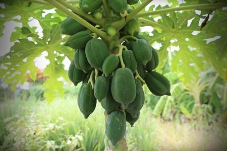 raw: Raw papaya Stock Photo