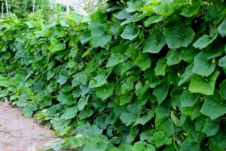dishcloth: leaf of the luffa or dishcloth gourd, Luffa cylindrica