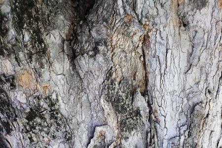 tamarindo: tronco de tamarindo Foto de archivo