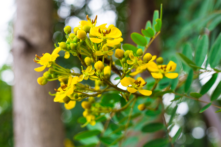 Cassia siamea Stock Photo
