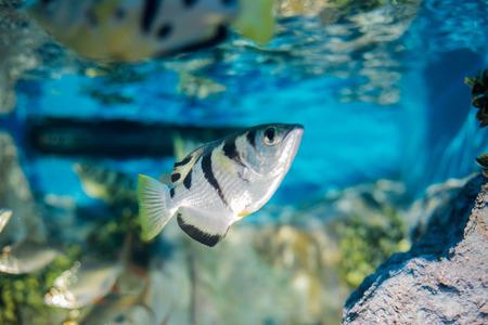 acanthurus: fish in aquarium