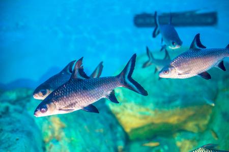acanthurus: Close up of small fish in aquarium Stock Photo