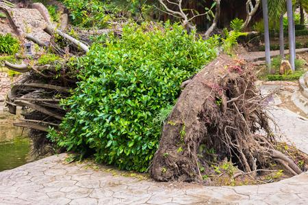 Big renversement des arbres, se déplaçant grand arbre.