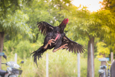 fighting cock: gamecock, fighting cock Stock Photo