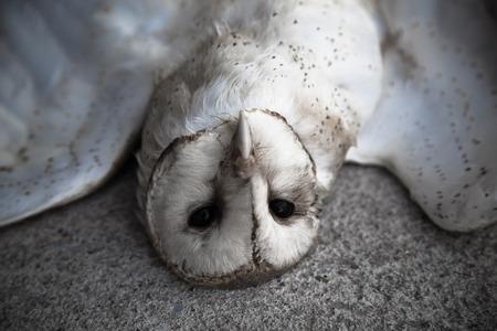 Dead owl, Dead bird Stock Photo
