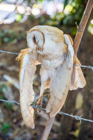pigeon owl: Dead owl, Dead bird Stock Photo
