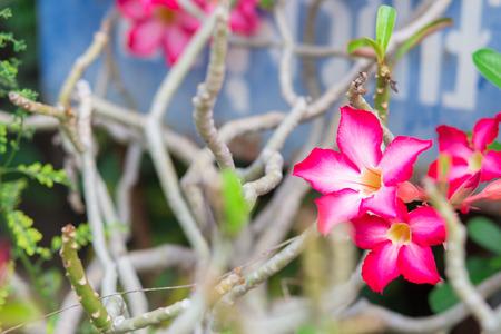 obesum: Pink Azalea Flowers, Adenium obesum