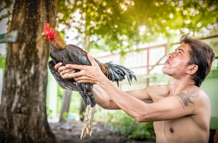 fighting cock: Man cleaning Thai gamecock. Fitness Thai fighting cock.
