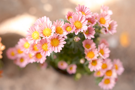 Small pink flower, pink Dendranthema Stock Photo