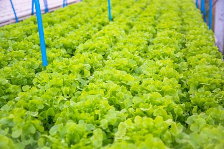 Organic hydroponic vegetable cultivation farm. Stock Photo
