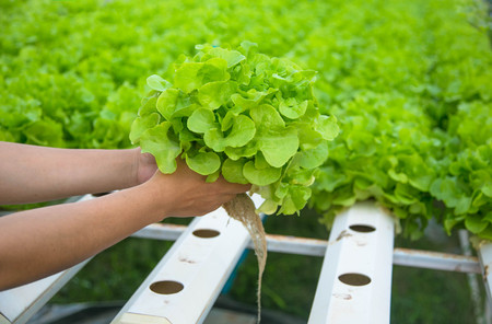 Organic hydroponic vegetable cultivation farm. 写真素材