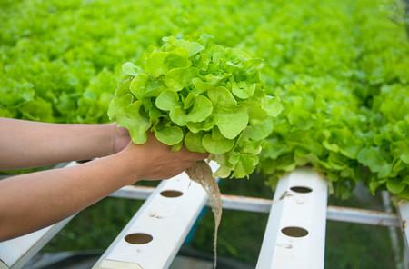 Organic hydroponic vegetable cultivation farm. Banco de Imagens