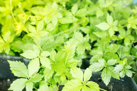 Gynostemma pentaphyllum, tea plant.