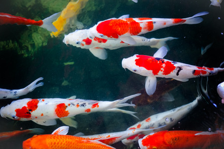 Koi Carps Fish Japanese swimming, beautiful color background