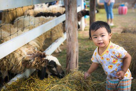 Thai cute boy feeding sheep in farm.