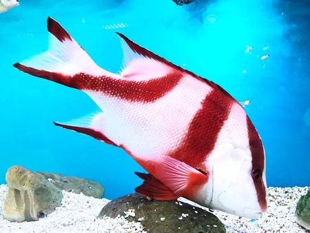 Red and white fish swimming in blue sea, View in aquarium. Stock Photo