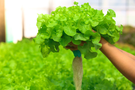 Hydroponic lettuces in hydroponic pipe. Hydroponic vegetable farm. Green natural farm.