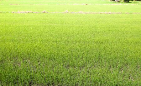 grünes Reisfeld, natürlicher Hintergrund. Standard-Bild