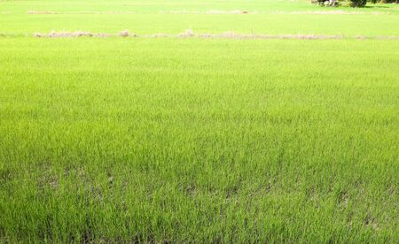 green rice field, natural background. Stockfoto