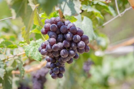 Harvest grapes. View of vineyard with bunches of ripe grapes. 版權商用圖片