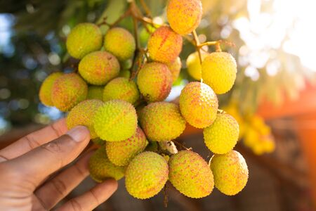 Fresh ripe lychee fruit hang on lychee tree.