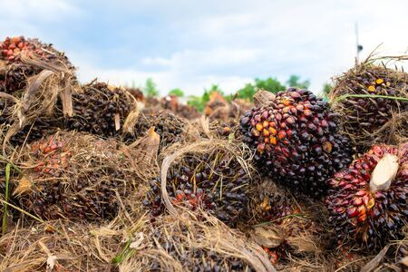 Close up of Palm oil seeds. 写真素材