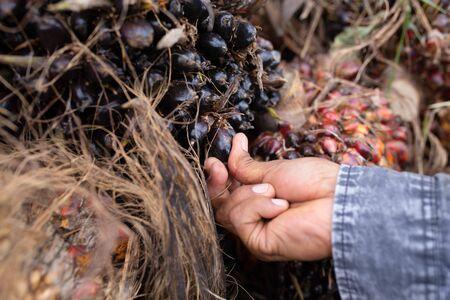 Close up of Palm oil seeds. 版權商用圖片