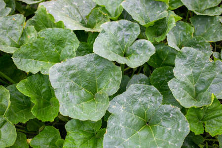 Pumpkin leaf plant with young flowers of creepers On the background of green leaves.