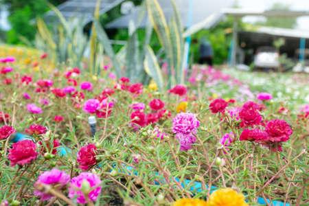 Colorful flower Grandiflora, japanese rose or Mose Rose. Beautiful sun plant.
