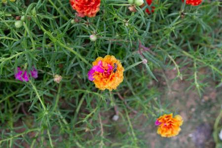 Two tone color of Grandiflora, japanese rose or Mose Rose. Beautiful sun plant. Banco de Imagens