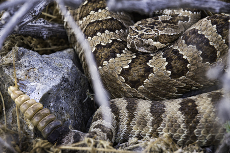 Western Diamondback Rattlesnake coiled next to a rock with rattle extended