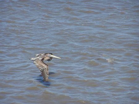 Brown pelican in flight over water Stock Photo