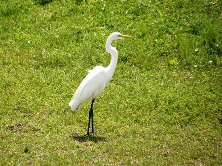 A great egret posing on the bank of the Mississippi River Stock Photo - 2875854