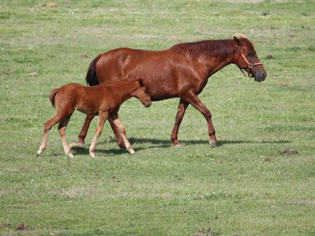 Mare and young foal in pasture