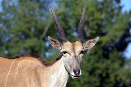 An alert Red Lechwe antelope Stock Photo