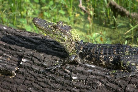 Young American alligator basking on a fallen log, in the Louisiana sun