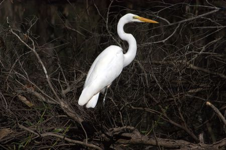 Great Egret standing in the swamp, looking for prey