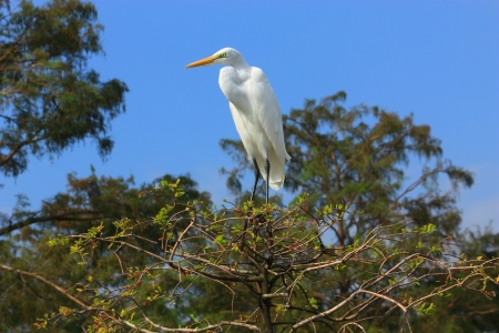 A great egret perches on top of a cypress tree in the Louisiana swamp