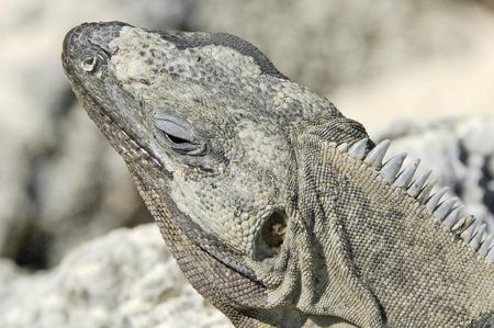 Yucatan, Mexico, 2007  A closeup of an Iguana bathing in the sun on a rock