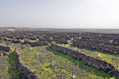 Lanzarote, Canary islands, Spain  A vineyard with vines growing in black sand, in sectors with walls built of volcanic rock, with sea in the horizon on a misty day  Stock Photo