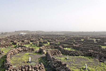 sectors: Lanzarote, Canary islands, Spain  A vineyard with vines growing in black sand, in sectors with walls built of volcanic rock, with sea in the horizon on a misty day  Stock Photo