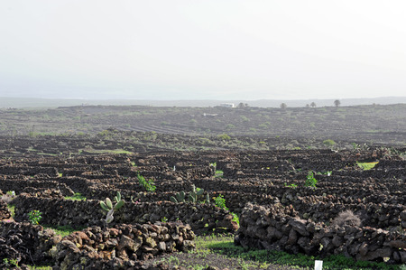 Lanzarote, Canary islands, Spain  A vineyard with vines growing in black sand, in sectors with walls built of volcanic rock, with sea in the horizon on a misty day Stock Photo - 27228919