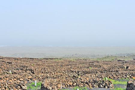sectores: Lanzarote, Islas Canarias, Espa�a Un vi�edo con las vides que crecen en la arena negro, en sectores con paredes construidas con piedra volc�nica, con el mar en el horizonte en un d�a brumoso