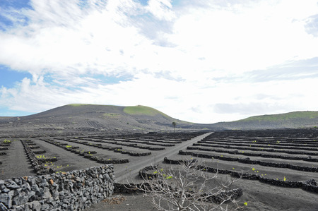 sectors: Lanzarote, Canary islands, Spain  A vineyard with vines growing in black sand, in sectors with walls built of volcanic rock