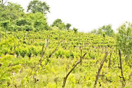A vine plantation in Ohrid, Macodonia photo