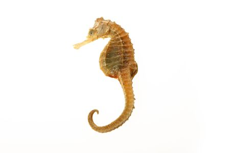 sea horse of gold color over white background Stock Photo - 2356680
